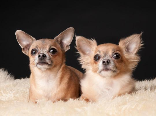 Twee chihuahua's